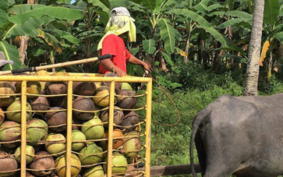 Livelihoods: Building a sustainable coconut supply chain with 5, 000 smallholder farmers in the Philippines