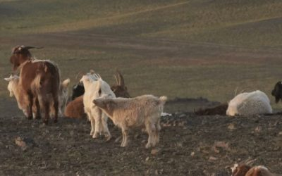 Mongolia sustainable cashmere project